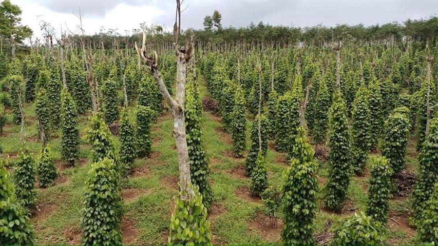 Ngân hàng Đắc Song bán đất trồng tiêu giá rẻ - 3